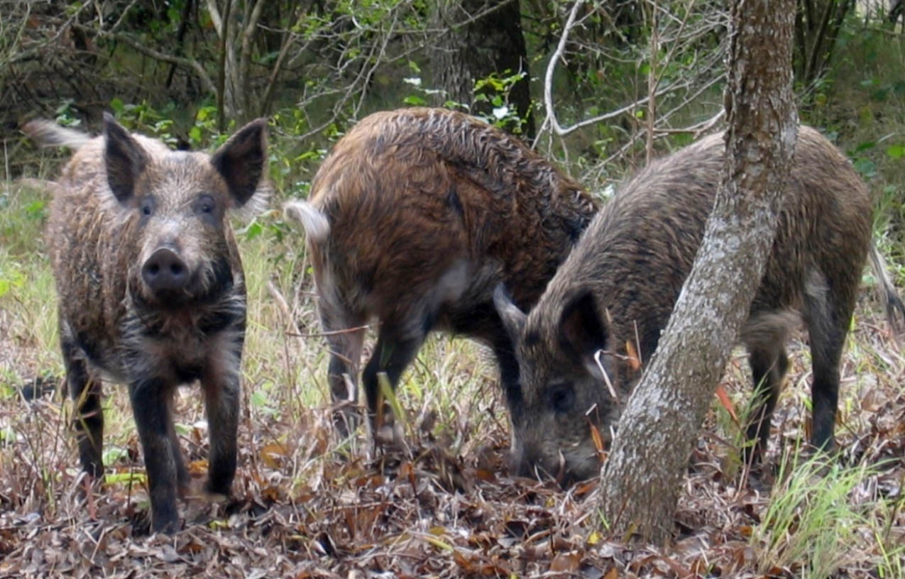 Invasive Species: Feral Pigs
