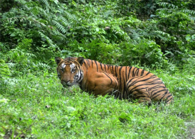 Tiger conservation in India
