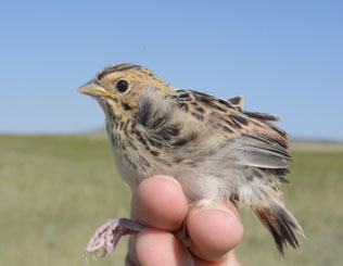 FCAS February 2019 presentation A Gem in Our Own Backyard: The Baird's Sparrow at Soapstone Prairie