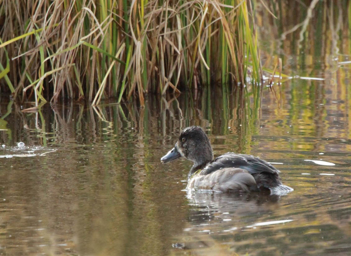 Ring-necked Duck by Ron Harden
