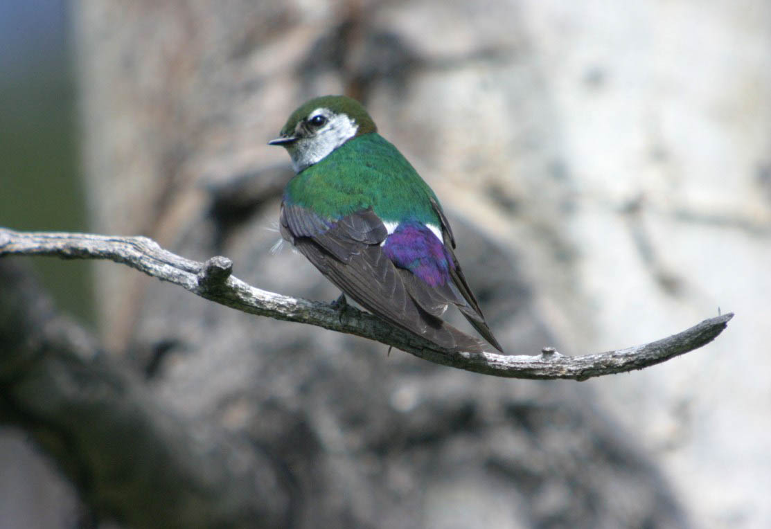 Violet-green Swallow by Ron Harden